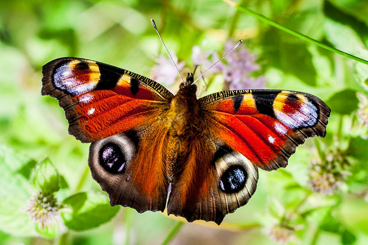Dagpauwoog vlinder workshop Amsterdamse waterleidingduinen