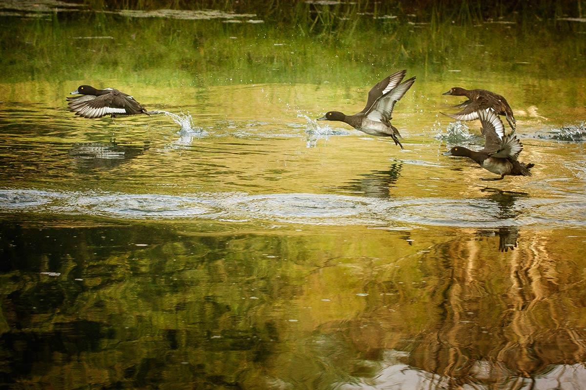 Hoe vliegende eenden te fotograferen?
