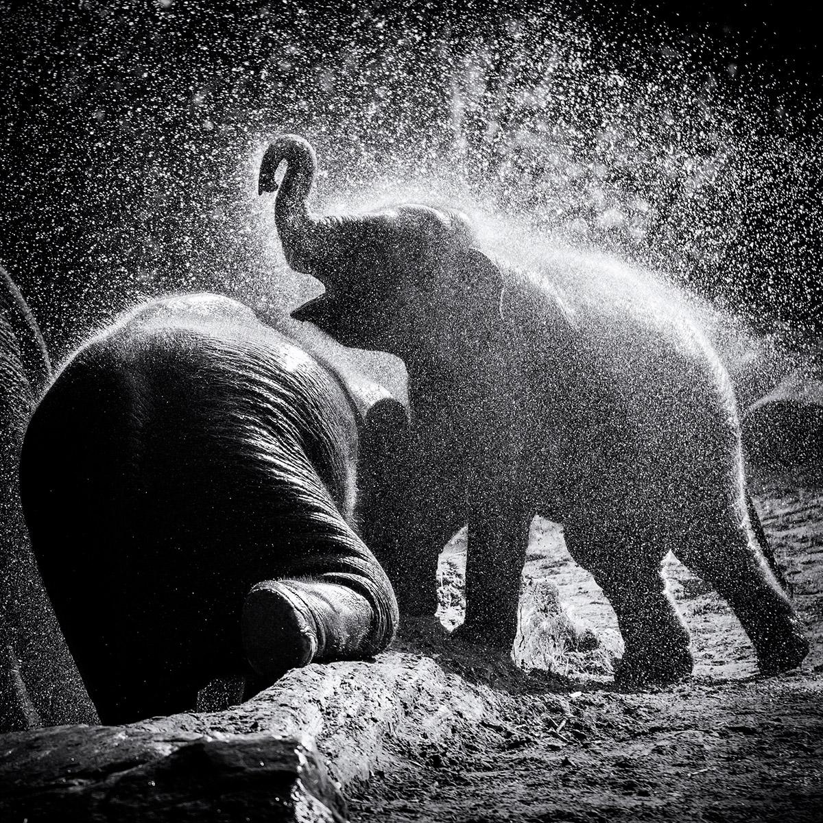 olifant Blijdorp foto zwart-witfoto