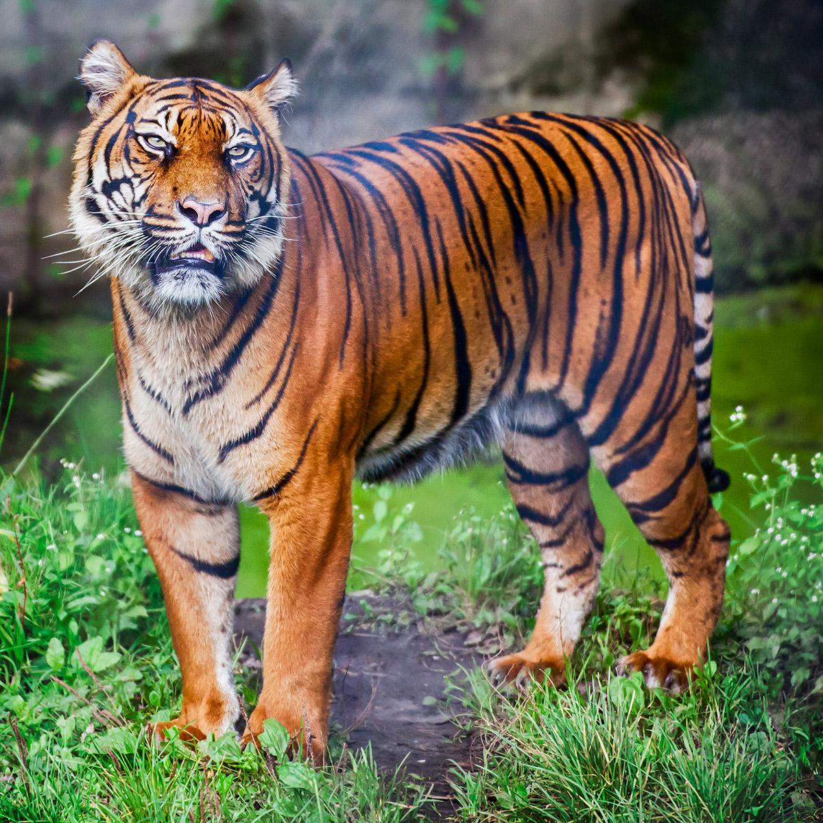 tijger fotografiecursus dierentuin
