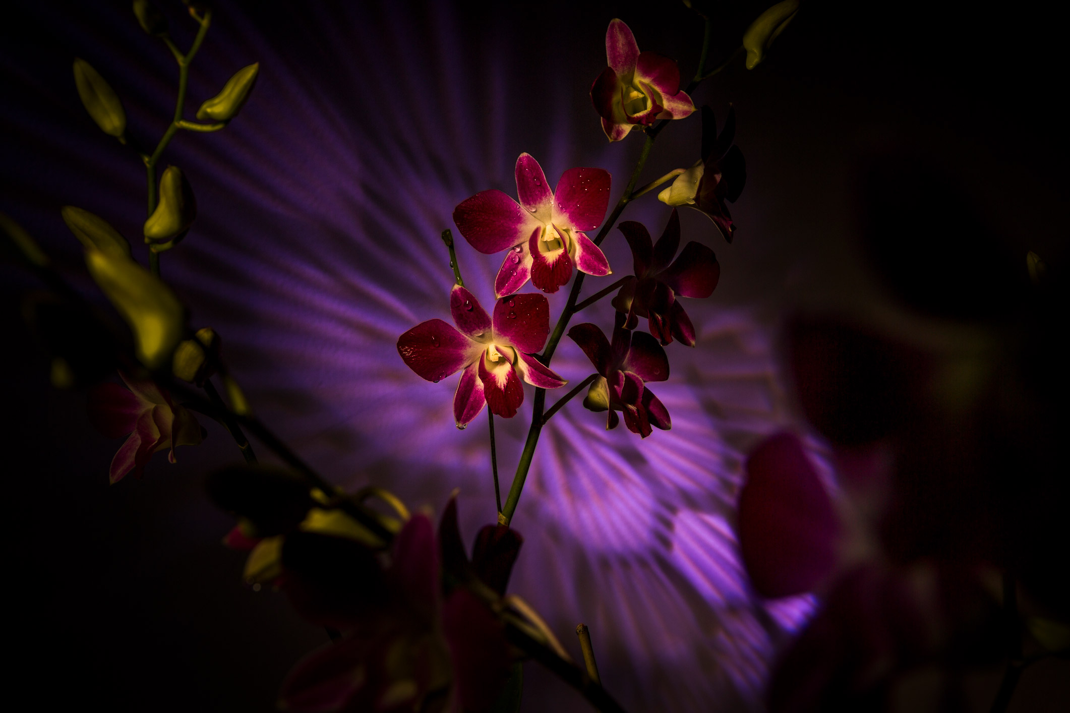 orchidee Thailand