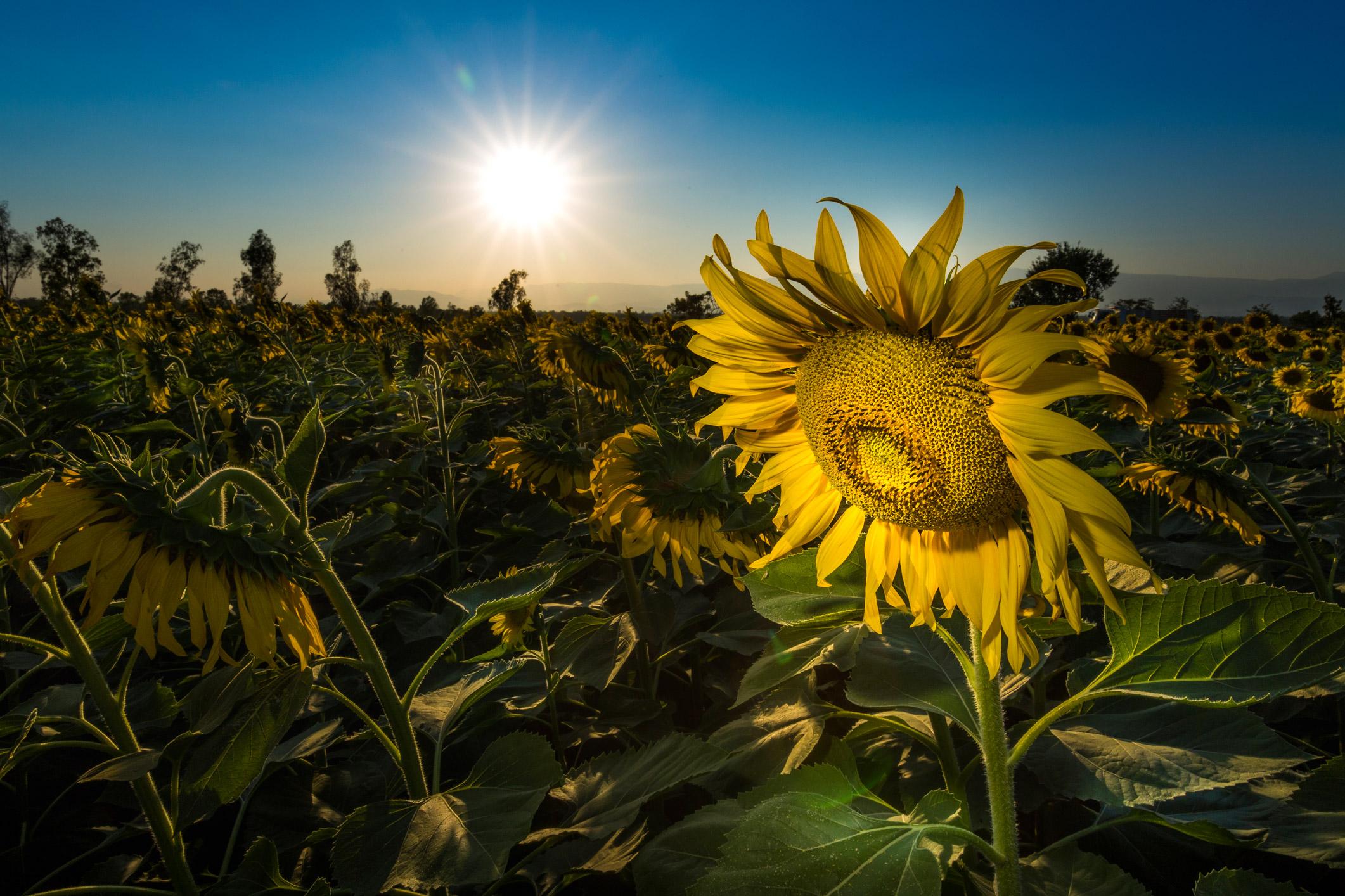 landschap zonnebloem Thailand