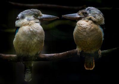 Blauwvleugelkookaburra