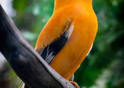 Oranje Rotshaan