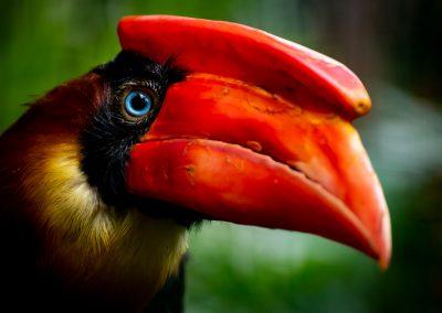 Roodbruine Neushoornvogel