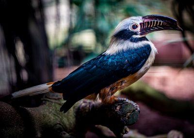 Visayan Tarictic Neushoornvogel