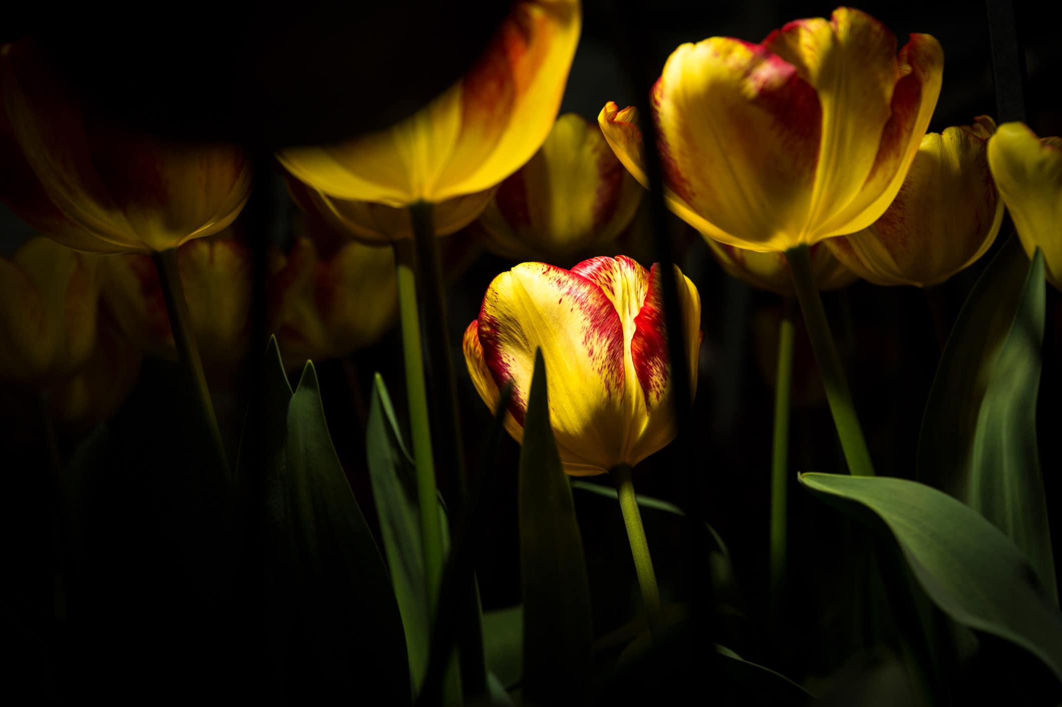 tulpen flitsen
