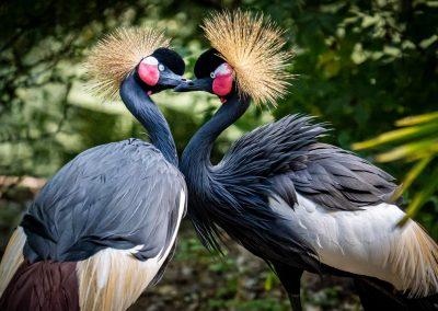 Grijze Kraanvogel