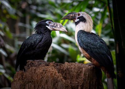 Visayan Tarictic-neushoornvogel